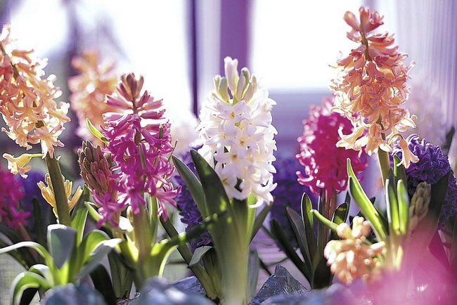 Луковичные цветы в интерьере. Подборка красивых фотографий (26) (650x434, 342Kb)