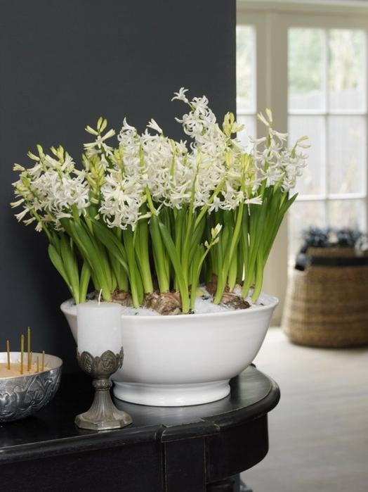 Луковичные цветы в интерьере. Подборка красивых фотографий (27) (524x700, 263Kb)
