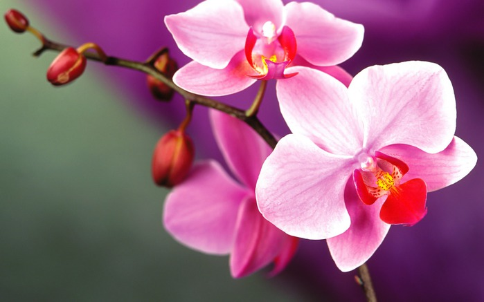 4696211_Orchidflowers352552121440900 (700x437, 55Kb)