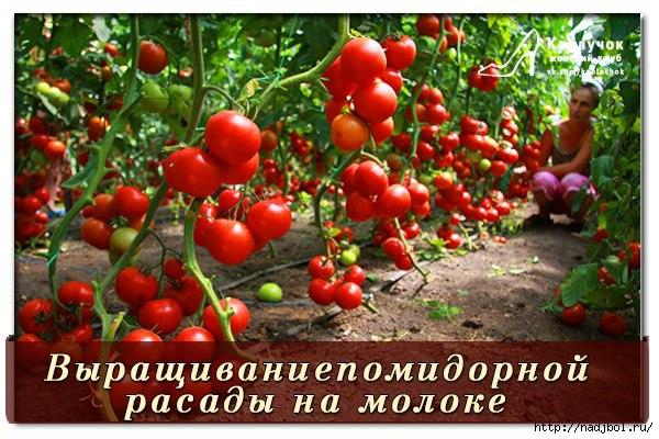 nadjibok58 помидорки на молоке/5186405_2e5ad8e022bab53184f272e24bf3b34c_b (600x400, 199Kb)