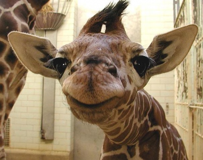 4744805-R3L8T8D-650-cute-smiling-animals-11 (650x511, 261Kb)