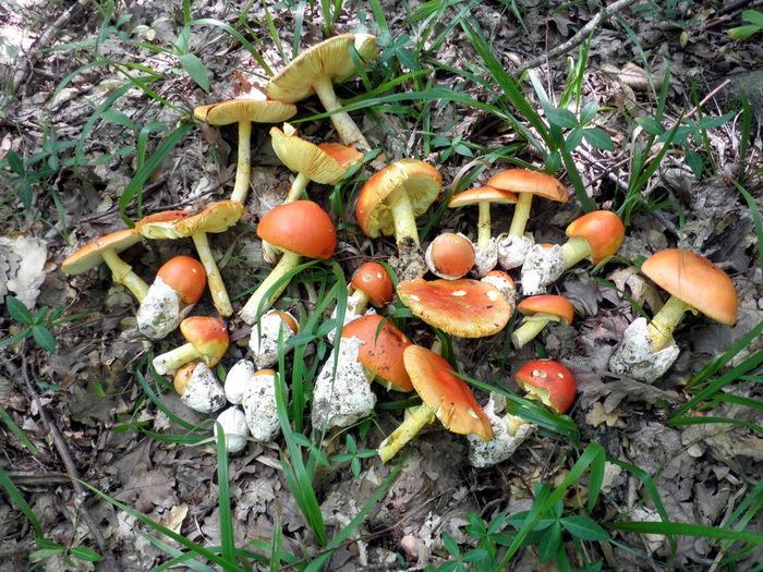 цезарев гриб рецепты приготовления