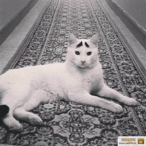 Кот с бровями2 (599x599, 187Kb)