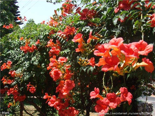 Цветок лиана кампсис