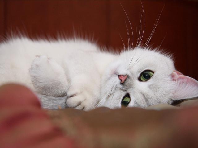 белая кошка (640x480, 90Kb)