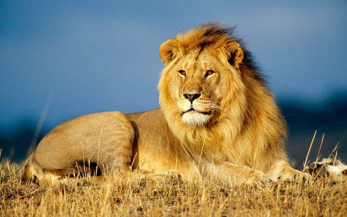 3664-lion (700x437, 70Kb)