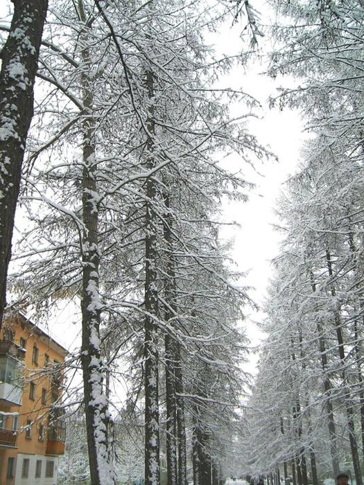 Лиственицы в снегу (525x700, 377Kb)