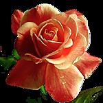 default-роза (150x150, 41Kb)