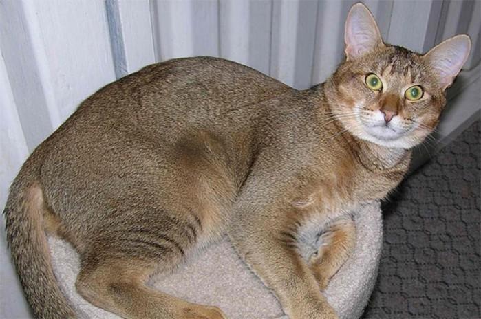 Каракал, чаузи, саванна: 5 самых дорогих пород кошек
