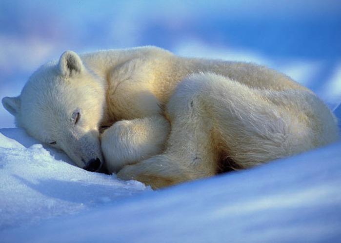 спящие животные 11 (699x498, 214Kb)