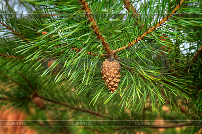 4679249-young-shoots-of-pine-trees-in-forest-spring (400x266, 253Kb)