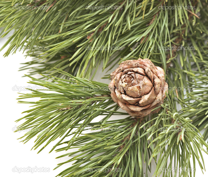 depositphotos_7097113-Siberian-pine-cone-with-branch (700x596, 577Kb)