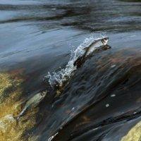 riba-plivet-protiv-techeniya (200x200, 10Kb)
