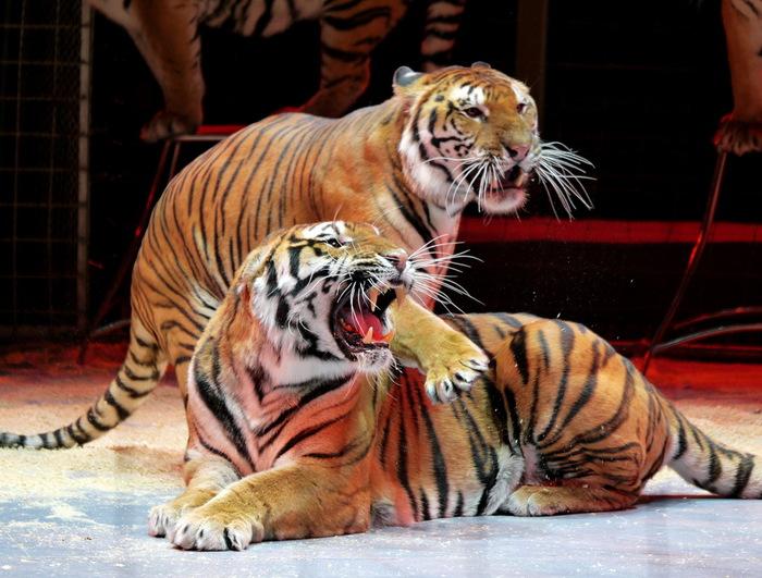 4432201_tigri (700x531, 138Kb)