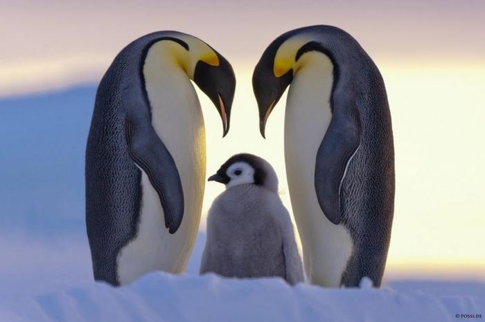 Penguins02 (700x466, 144Kb)