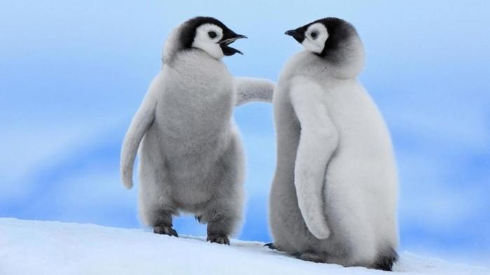 Penguins04 (700x393, 110Kb)