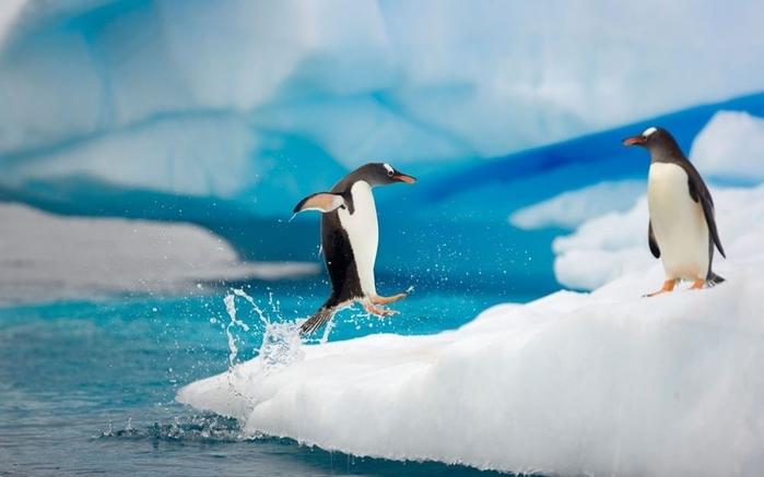 Penguins06 (700x437, 155Kb)