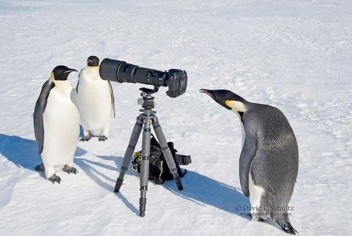 Penguins08 (700x469, 227Kb)