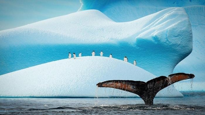 Penguins10 (700x392, 197Kb)