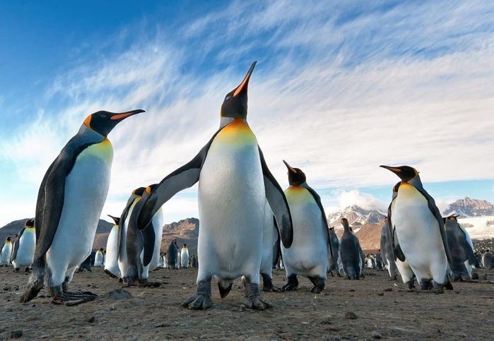 Penguins12 (700x483, 237Kb)