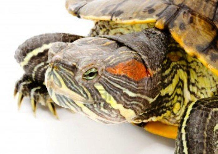 alt=Содержание красноухих черепах в домашних условиях./2835299_ChEREPAHA (700x495, 68Kb)