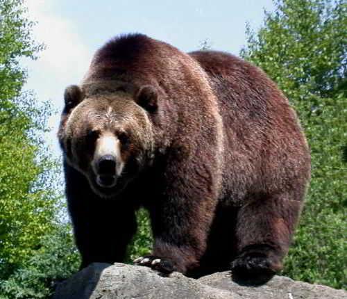 медведи 1 (500x430, 139Kb)