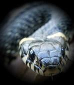 1240816533_090427_snake4 (148x168, 21Kb)