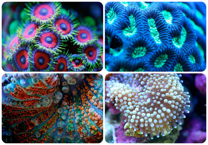 makrosemka-korallov_10 (700x490, 168Kb)