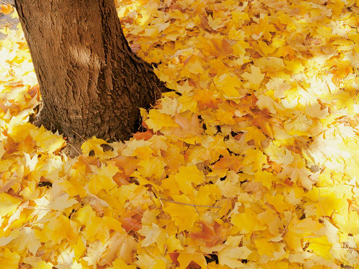 yellow-leaves-gold_1556_990x742 (700x525, 577Kb)