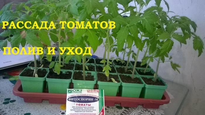 Rassada-tomatov-poliv-i-vyrashhivanie (700x393, 305Kb)