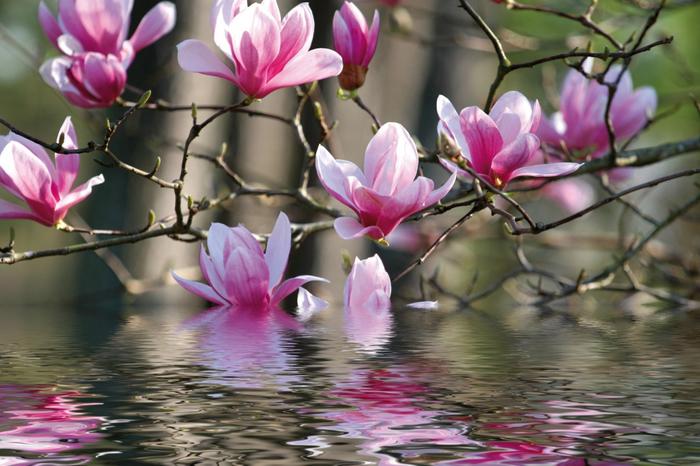 66088_magnolia_magnolie (700x466, 363Kb)