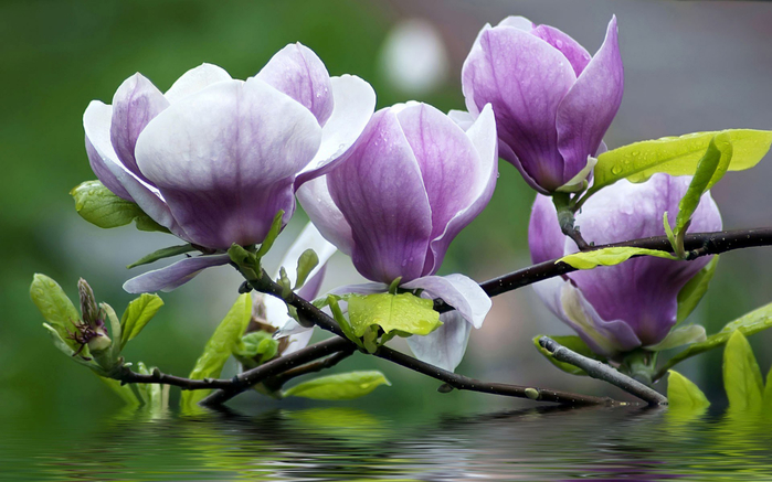 Magnolia-Flower-Wallpaper-3 (700x437, 324Kb)