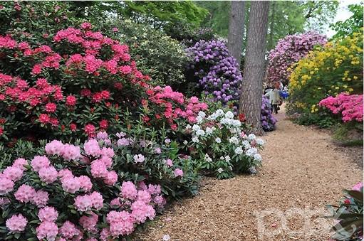 5930119_park_rododendronov_Hobbie__Avtor_PLANTFOTO_96 (511x339, 94Kb)
