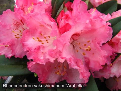 5930119_Rododendron_yakyshimanskii_Arabella (480x360, 201Kb)