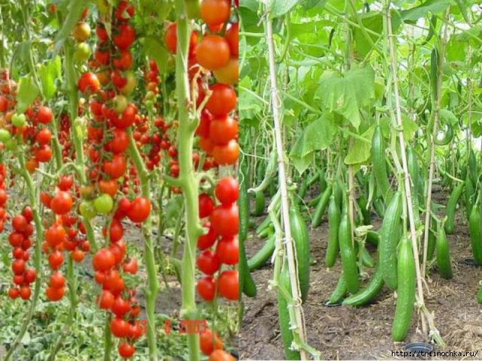 Выращиваем огурцы, помидоры, перцы в одной теплице