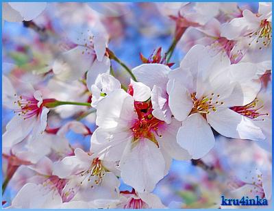 Цветущая-вишня (400x308, 253Kb)