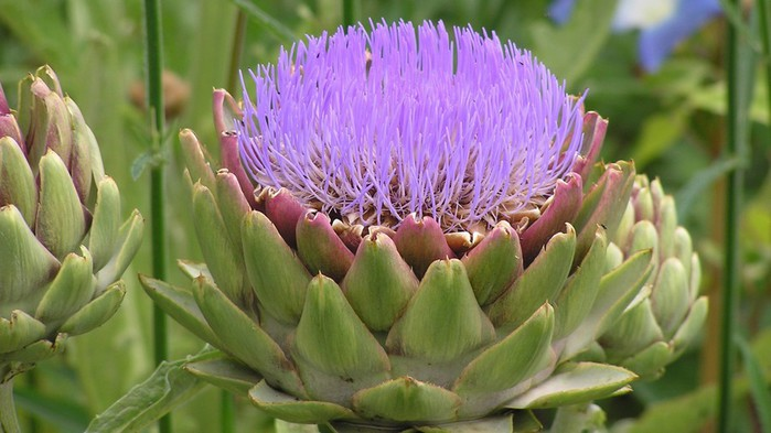 artichoke-is-also-nice-as-flower-2400x1350-wallpaper (700x393, 74Kb)