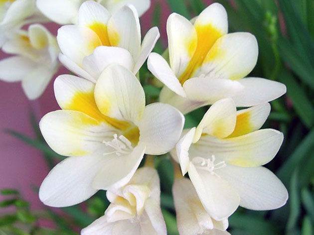 freesia2_2 (630x472, 54Kb)