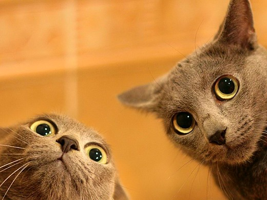 wallpapers_cats_597[3] (520x390, 56Kb)