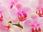 ������ Orhidea - 1 (7) (600x450, 210Kb)