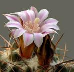 ������ 1274259590_cactusflowers016 (500x485, 168Kb)