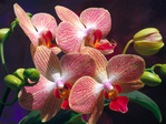������ International_Womens_Day_Exotic_flowers_on_March_8_014471_ (700x525, 408Kb)