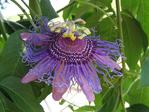 ������ passion-flower-purple-2426 (700x525, 480Kb)