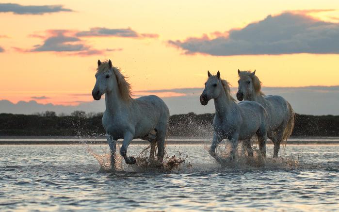belye-koni-skachut-po-reke (700x437, 354Kb)