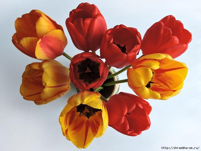 дачные тюльпаны (14) (700x525, 239Kb)