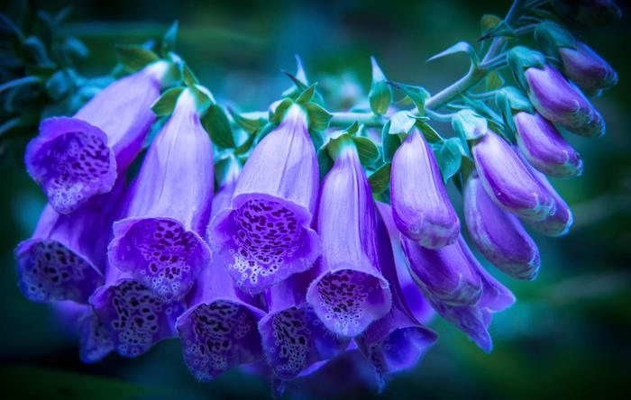бутоны-цветов (700x444, 322Kb)