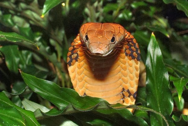 Королевская кобра (604x405, 241Kb)