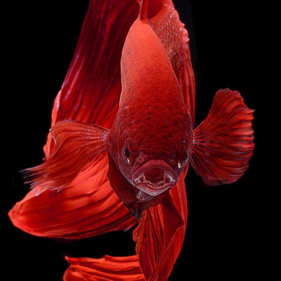 Fish Visarute Angkatavanich1 (564x564, 205Kb)