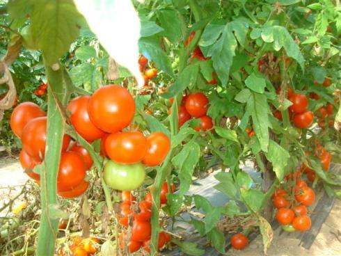 pomidor3 (490x368, 205Kb)