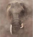 ������ Слон - фото (287x330, 48Kb)